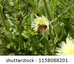 Small photo of bullhead falter butterfly