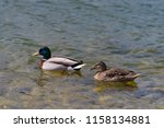 drake with female duck swimming ... | Shutterstock . vector #1158134881