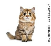 Stock photo super adorable golden british longhair cat kitten sitting straight up facing front looking 1158210607