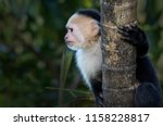 white faced monkey photographed ... | Shutterstock . vector #1158228817