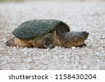 female snapping turtle ...   Shutterstock . vector #1158430204