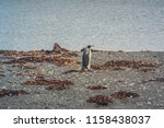 king penguins at tierra del... | Shutterstock . vector #1158438037