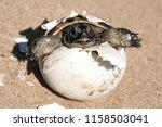 Stock photo common tortoise baby is hatching from egg on sand baby tortoise is hatching from egg on sand 1158503041