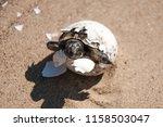 common tortoise baby is... | Shutterstock . vector #1158503047