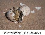 common tortoise baby is... | Shutterstock . vector #1158503071