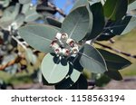 foliage and fruit  gum nuts  of ... | Shutterstock . vector #1158563194