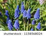 Muscari Armeniacum Plant With...