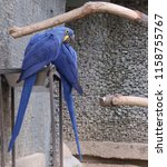 Hyacinth Macaw  Scientific Nam...