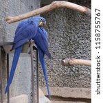 Hyacinth Macaw  Scientific Nam...