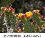 cactus blooming late spring in... | Shutterstock . vector #1158766927