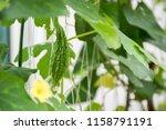 little young bitter melon or... | Shutterstock . vector #1158791191