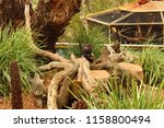 tasmania devil at bonorong... | Shutterstock . vector #1158800494