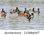 A Covey Of Wild Duck Is In The...