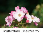 close up with flower | Shutterstock . vector #1158935797