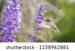 anna's hummingbird feeding on...   Shutterstock . vector #1158962881