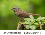 song sparrow  melospiza melodia ... | Shutterstock . vector #1159030447