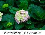 beautiful blue hydrangea or... | Shutterstock . vector #1159090507
