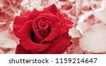 Beautiful Spiraling Red Rose...