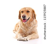 Stock photo golden retriever dog laying over white background 115925887