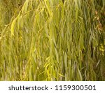 leaves of a weeping willow   Shutterstock . vector #1159300501