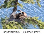 Adult Bald Eagle With Two...