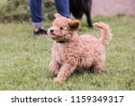Stock photo portrait of poodle dog living in belgium 1159349317