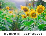 portrait of a sunflower in the... | Shutterstock . vector #1159351381