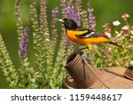 Baltimore oriole taken in...
