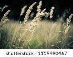 Long Grass  Woodland  Uk....