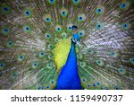 Peacock Showing Its Beautiful...
