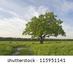 the big lonely oak  tree on a... | Shutterstock . vector #115951141