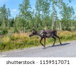 reindeer on the road is a... | Shutterstock . vector #1159517071