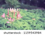 flowers used for decorating the ... | Shutterstock . vector #1159543984