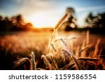 Gold Spikelets Of Wheat At...
