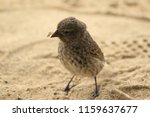 galapagos finch on beach | Shutterstock . vector #1159637677