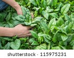 Working With Spinach In The...