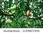 the mahogany has a thick brown... | Shutterstock . vector #1159827454