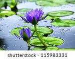 Violet Lotus Blooming In The...