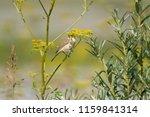 chiffchaff spring  lat.... | Shutterstock . vector #1159841314