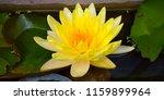 Close Up Beautiful Yellow Lotus ...