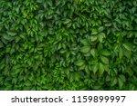 live hedge from maiden  girlish ... | Shutterstock . vector #1159899997
