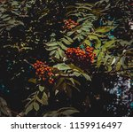 red mountain ash under the... | Shutterstock . vector #1159916497