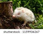 hedgehog  wild  native ... | Shutterstock . vector #1159936267