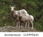 Bighorn Sheep  Mother And Twin...