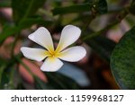 plumeria  flower  is  beautiful. | Shutterstock . vector #1159968127
