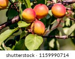 image ripe apricots clothed... | Shutterstock . vector #1159990714