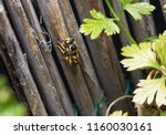 wasp on reed gathering up... | Shutterstock . vector #1160030161