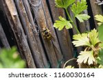 wasp on reed gathering up... | Shutterstock . vector #1160030164