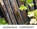 wasp on reed gathering up... | Shutterstock . vector #1160030167