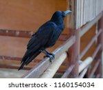 Black Crow  Corvus Corone ...